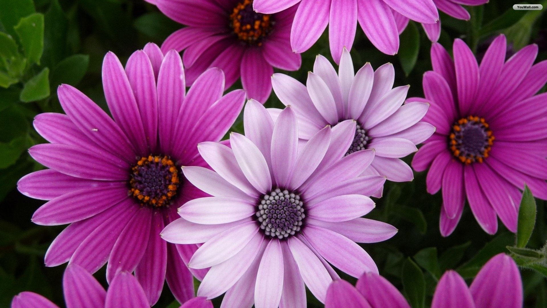 181626-beautiful-purple-flowers-desktop